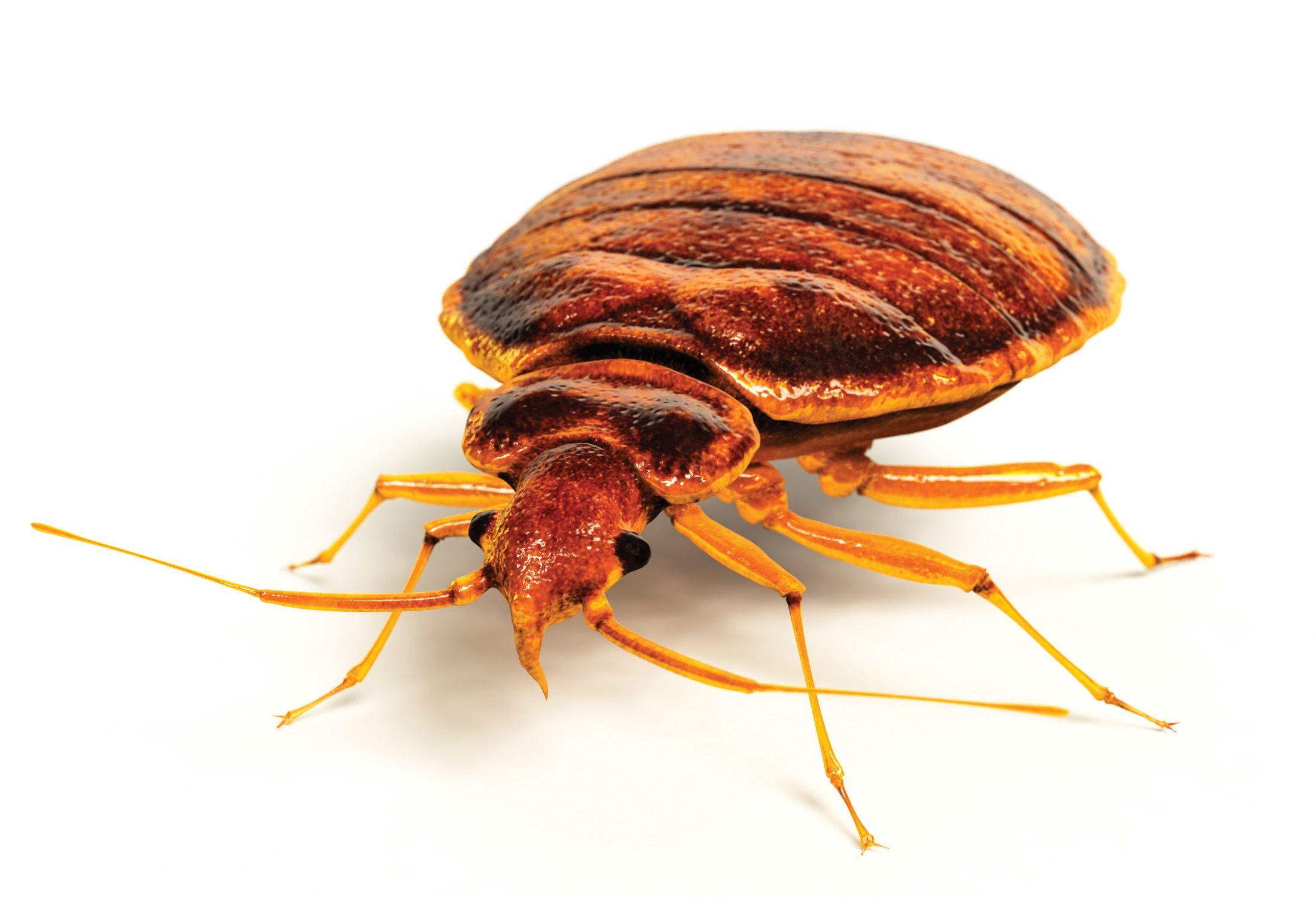 Billeder af væggelus her - Vigtig info om de bidende insekter