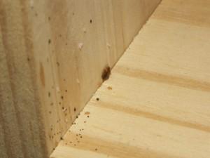 Væggelus lever oftest i sengen hvor de bider og stikker